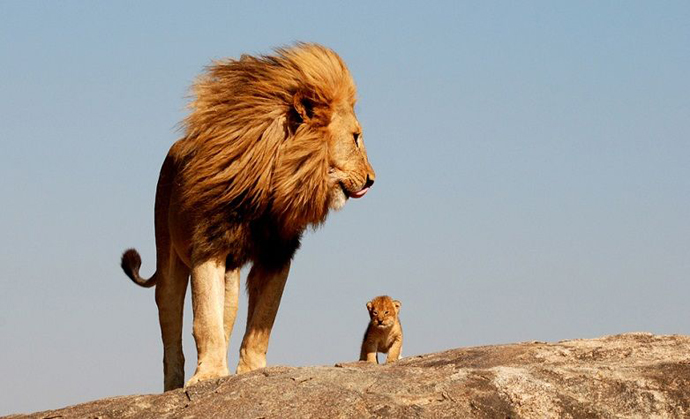 real_life_lionking