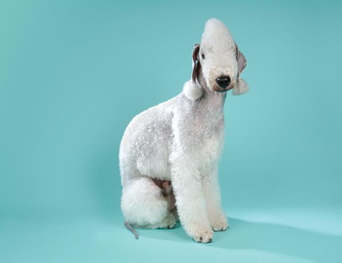 Terrier Bedlington Wilton