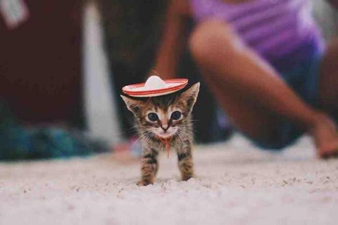 kitten_sombrero