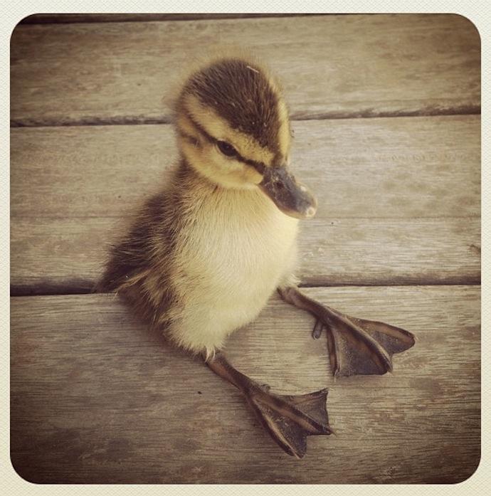 tiny ducklin cute