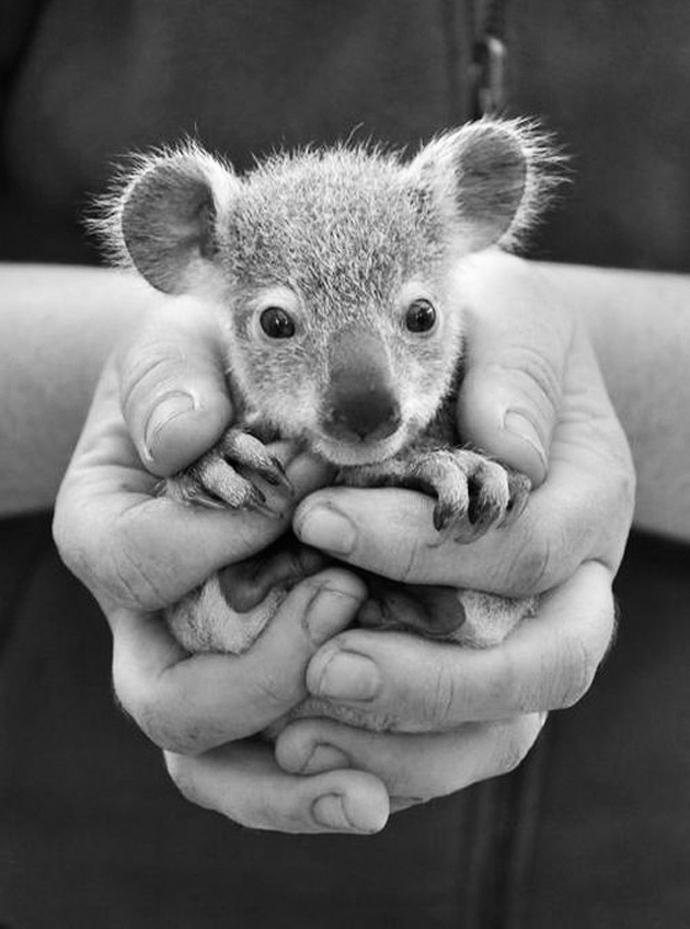 baby_koala