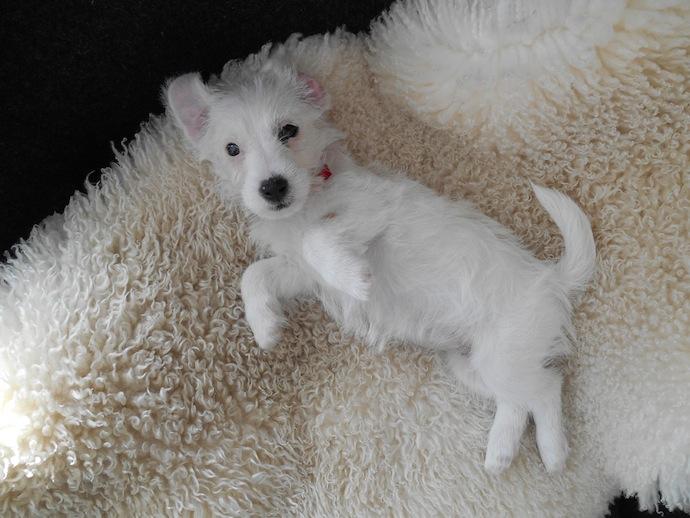 dog-puppy-doortje-10
