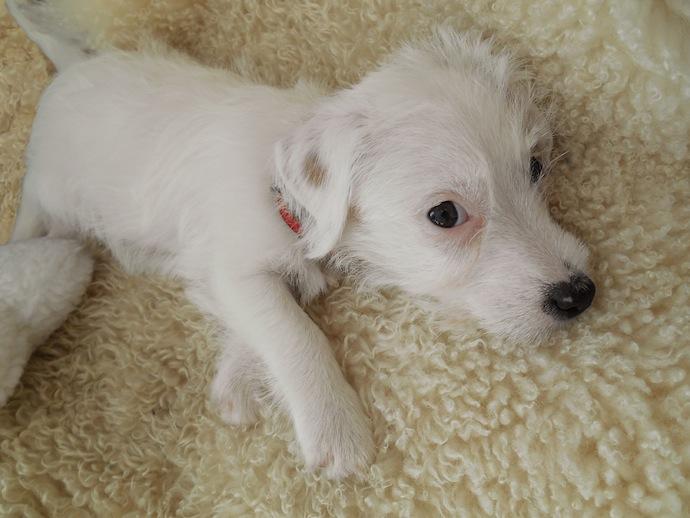 dog-puppy-doortje-11