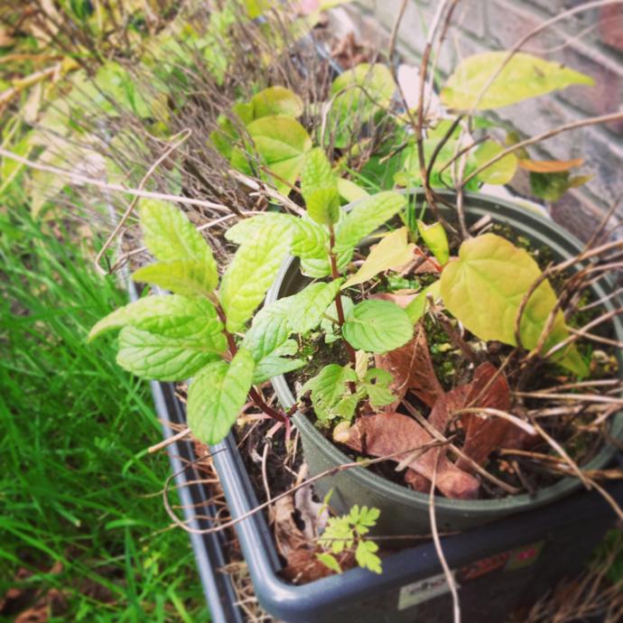 muntplant revival