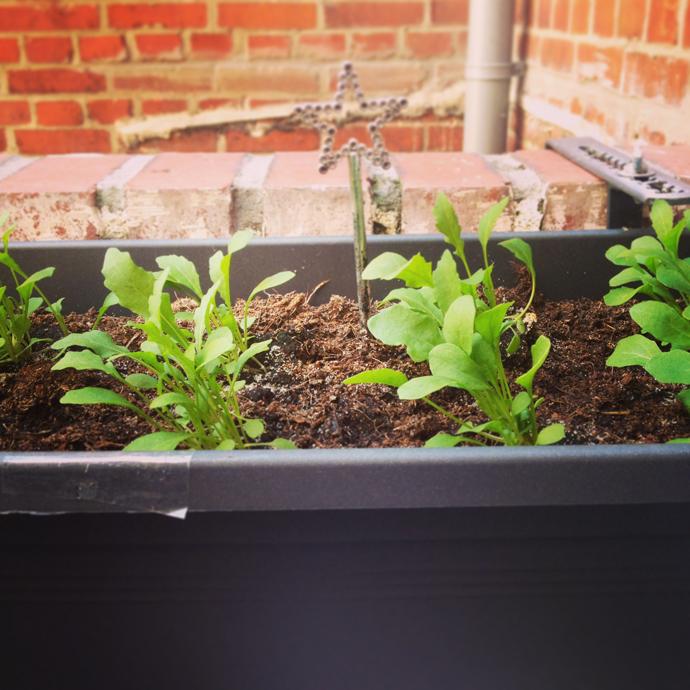 rucola plantjes