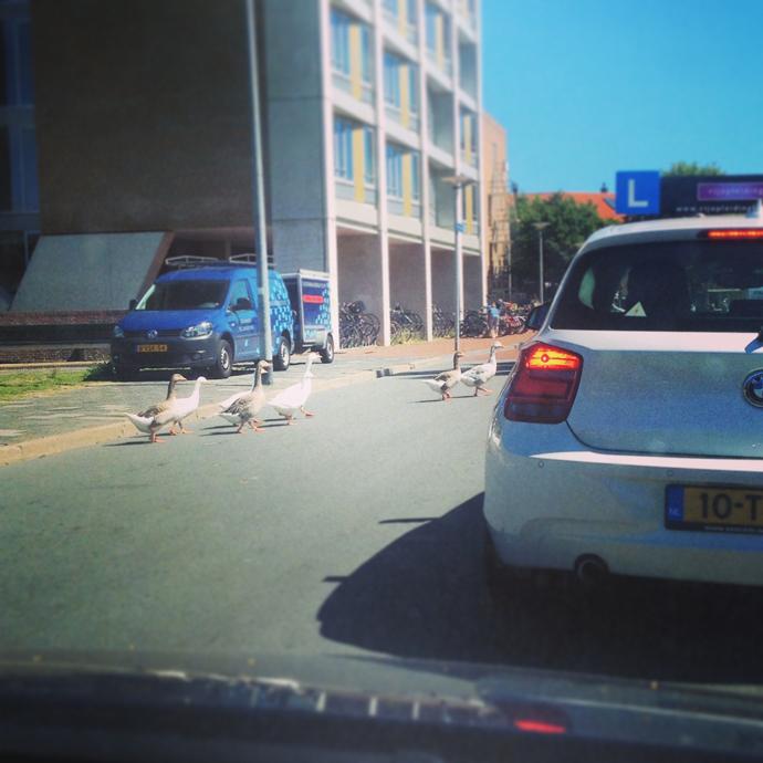 ganzen op straat